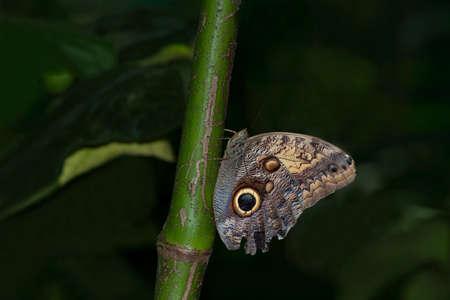 caligo teucer butterfly