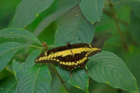 giant swallow tail on the plant; Papilio cresphontes