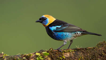 Golden-hooded Tanager, Tangara larvata, exotic tropical blue bird with gold head from Costa Rica. Wildlife scene from nature.