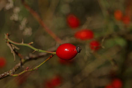 Rosehip plant protecting from influenza