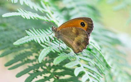 Pironia butterfly - Pyronia tithonus