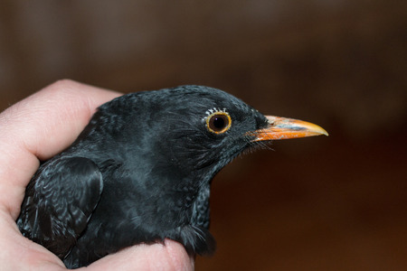 flew: One night Blackbird Turdus merula suddenly flew into the house through the window. Then I photographed and released