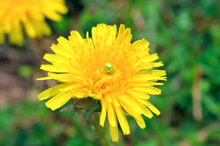 misumena: Flower spider hunting on a dandelion. Spring. The Caucasus