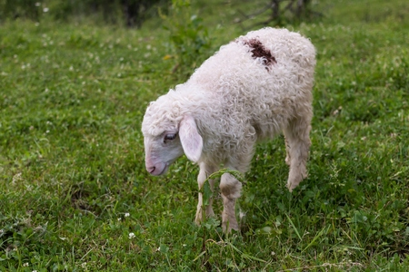 countryside loving: lamb, grazing on he grass