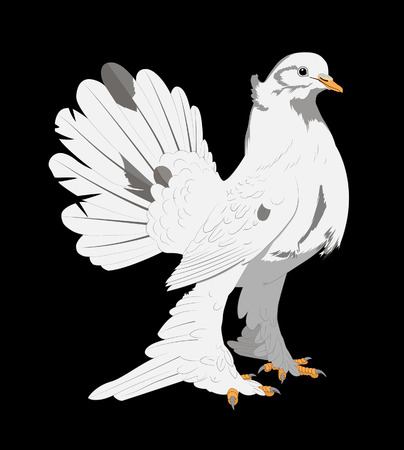 black feathered: Vector illustration on a black background beautiful white dove feathered feet long, beautiful tail and a small crest on the head