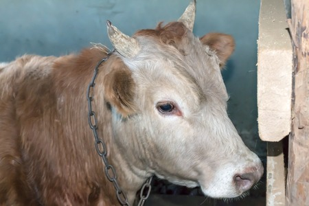 dagestan: Yearling bull cream colored, tied in a shed in the Caucasus. Dagestan in 2015. Stock Photo