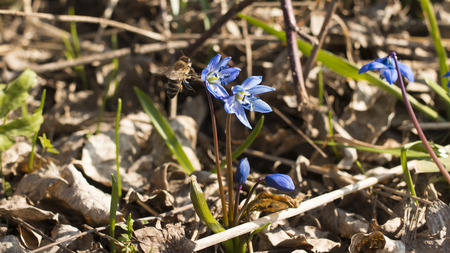 dagestan: The bee pollinate a flower blutbell spring. Dagestan. 2015