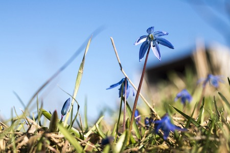 dagestan: Spring flowers bluebell. Near the village. Dagestan. Caucasus. 2015. The photo was taken in the afternoon