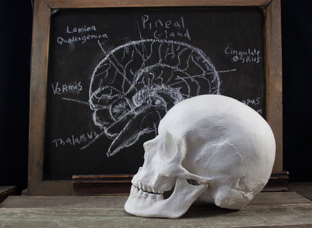 hypothalamus: Old anatomy board and skull. Old black anatomy board with brain structure illustration and white skull laying on a wooden table profile view. Stock Photo