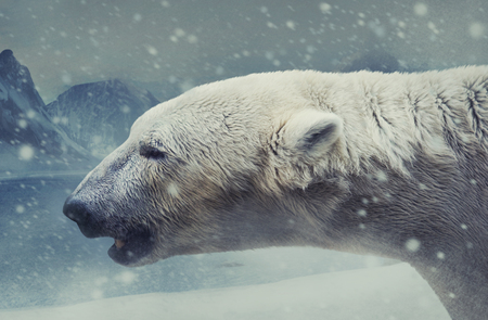 Profile photo of an arctic white bear standing in a massive snowfall on a white snow mountains background.