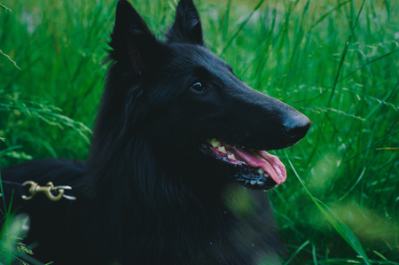 Summer portrait of black groenendael-dog with green background. Working agility belgian shepherd groenendael portrait. Beautiful young, smiling and happy dog breed belgian shepherd groenendael 免版税图像