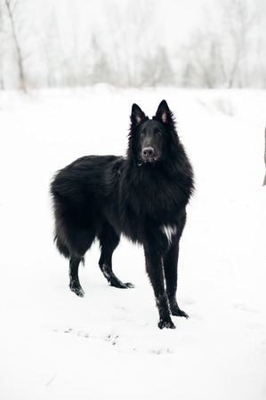 Belgian shepherd groenendael female in the woods during winter Imagens