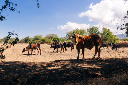 Young cattle eat hay and grass on a sunny day in Nicaragua Stock Photo
