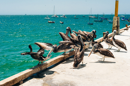 A group of pelicans enjoying a sunny day in the sea. Many white wild pelicans swim in the bay