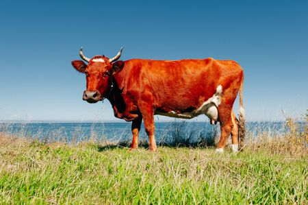 Red cow pasture in village at summer Stockfoto - 128534530