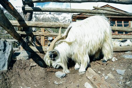 sheep lambs climbing hills in nepal
