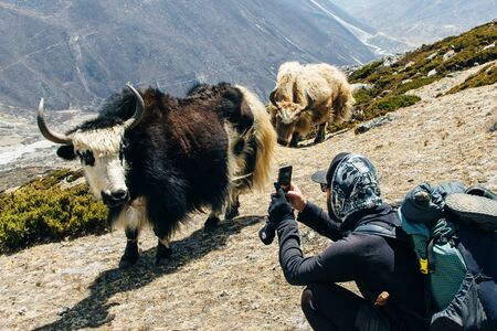 Tourist takes pictures of yak in Nepal