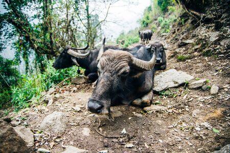 A group of water buffalo grazing in a clearing along the Mardi Himal trek.