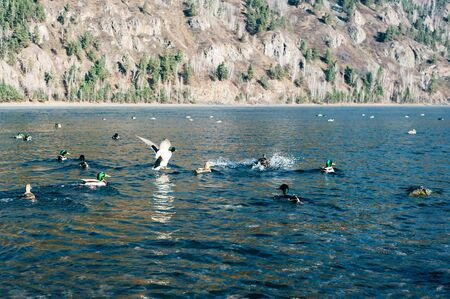 Duck flock takes off from water. Flock of ducks takes off. Stok Fotoğraf