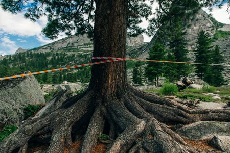 Pine tree is wrapped in a red and white signal tape in a summer forest Stok Fotoğraf