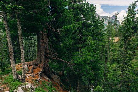 The cedar forest in mountains Rusiia, Ergaki
