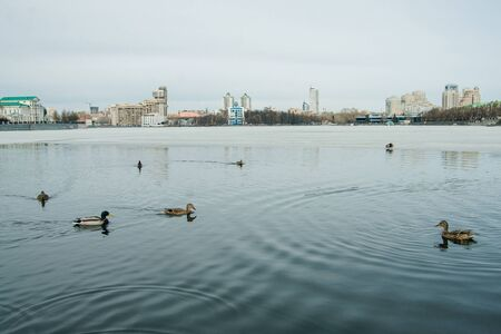 ducks on the city lake in Ekaterinburg, Russia 版權商用圖片