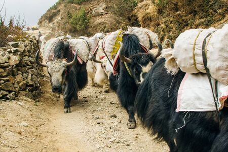 Yaks carrying weight in himalaya, Nepal