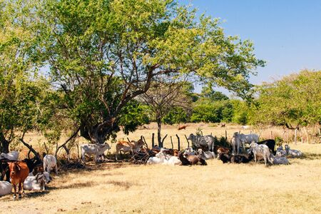 Young cattle eat hay and lie in the shade under a tree in a farm field in Nicaragua 写真素材