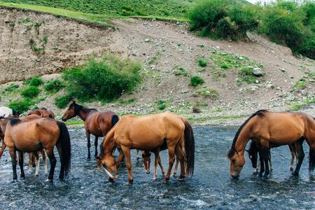 Drinking horses in a river in in Kazakhstan Reklamní fotografie - 131807427