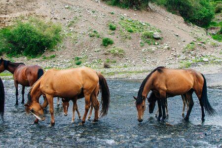 Drinking horses in a river in in Kazakhstan Reklamní fotografie - 131807943