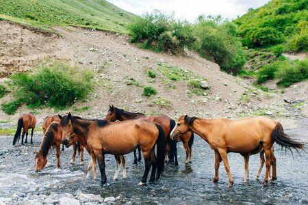 Drinking horses in a river in in Kazakhstan Reklamní fotografie - 131808339