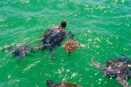 Sea turtle aka holu swimming in the ocean in Peru