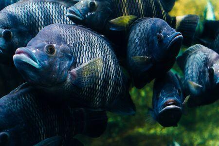 big gray Fish in the Aquarium