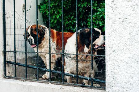 bernardine dogs behind dog shelter bars Stock Photo