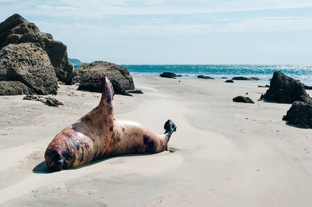 dead seal on the coast of the Pacific Ocean in Peru Stockfoto - 131807736