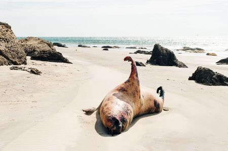 dead seal on the coast of the Pacific Ocean in Peru Stockfoto - 131807678