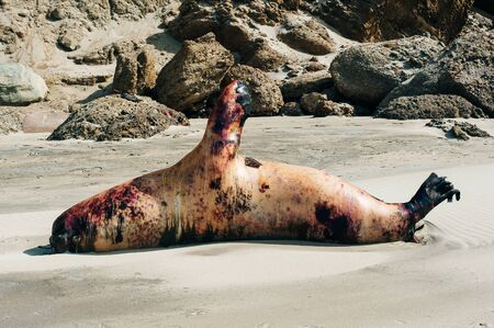 dead seal on the coast of the Pacific Ocean in Peru Stockfoto - 131807856