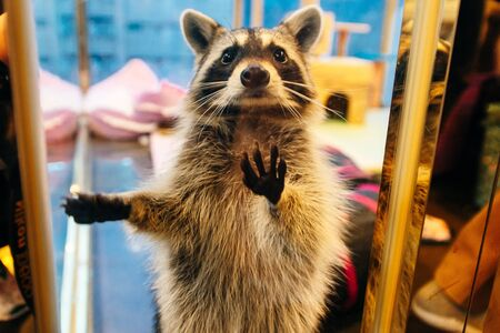 Raccoon Cafe - Raccoon in tiny cage, (Animal Cafe), Seoul, South Korea