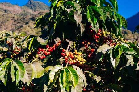 coffee with red fruits and raindrops in Guatemala