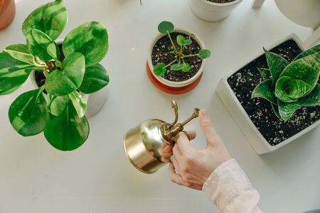 Hand holding a golden style water spray bottle. House plants Stockfoto
