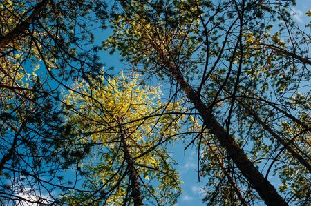 Bottom view of tall old trees in evergreen primeval forest 写真素材