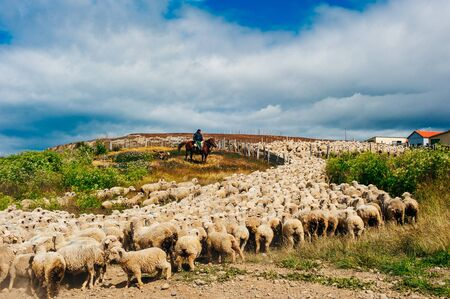 Flock of sheep with shepherd in chile. white sheep up the hills.