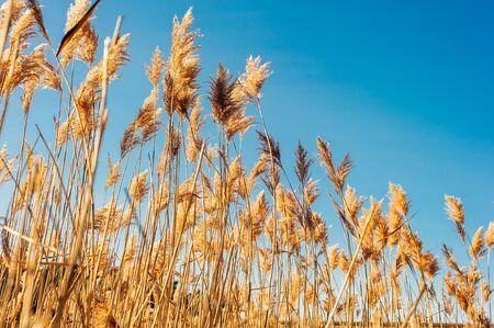 Dry grass flowers blowing in the wind, red reed sway in the wind with blue cloudy sky background, reed field in autumn Stock fotó