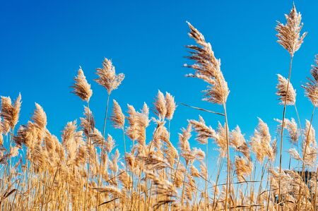 Dry grass flowers blowing in the wind, red reed sway in the wind with blue cloudy sky background, reed field in autumn 스톡 콘텐츠