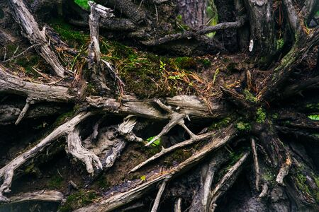 Forest trail with tree roots. Hiking in coniferous forest.