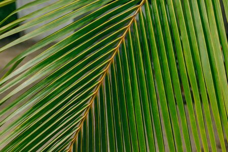 Striped of palm leaf, Abstract green texture from nature background.