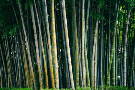Bamboo palm tree trunks with natural rainforest background. 版權商用圖片