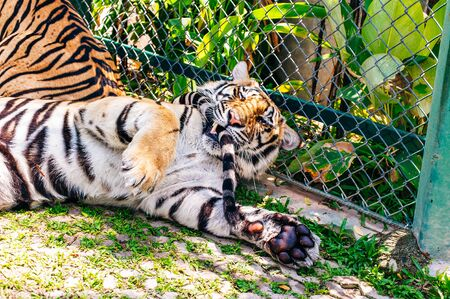 Phuket, Thailand - November 2019 This is the Tiger Kingdom in Phuket where Tourist attraction featuring up-close interaction with tigers in caged enclosures. The tiger is in focus