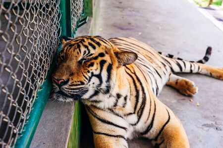This is the Tiger Kingdom in Phuket where Tourist attraction featuring up-close interaction with tigers in caged enclosures. The tiger is in focus
