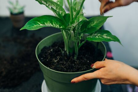 Gardeners hand planting flowers in pot with dirt or soil Standard-Bild